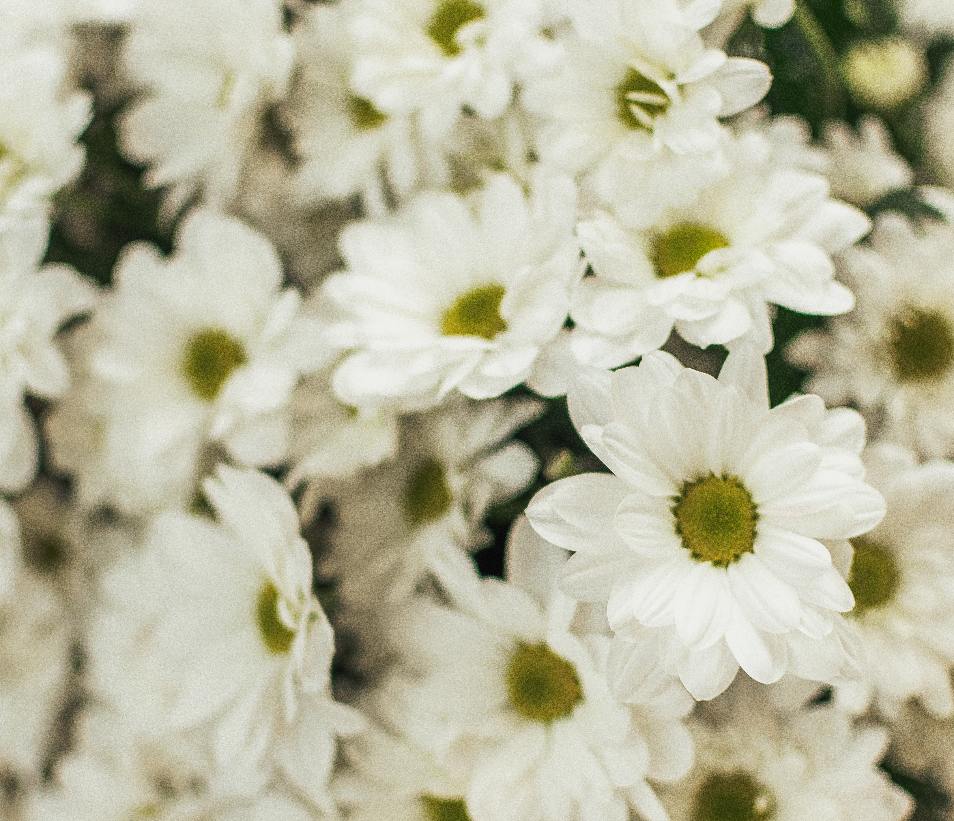 Букет из Ромашковидной хризантемы