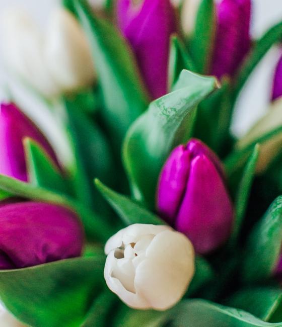 Букет из белых и фиолетовых тюльпанов (15,29 или 45шт)
