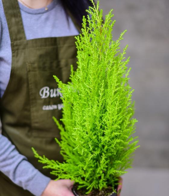 Горшечное растение Кипарис