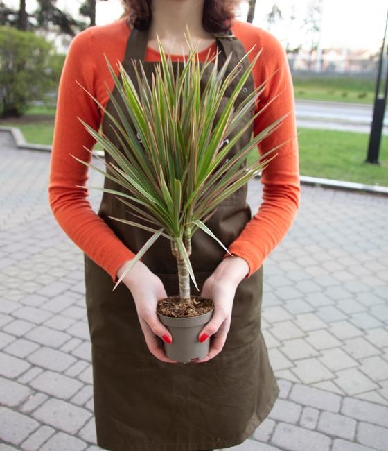 Растение драцена 35см