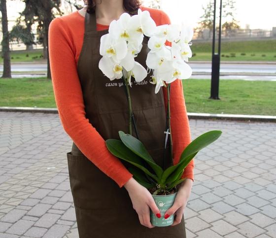 Растение Фаленопсис 2рр